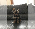 Yorkshire Terrier Puppy For Sale in MONUMENT, CO, USA