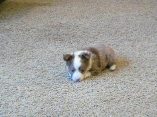 Adorable Toy Aussie Pups