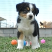 Australian Shepherd Puppy For Sale in EASTVALE, CA, USA