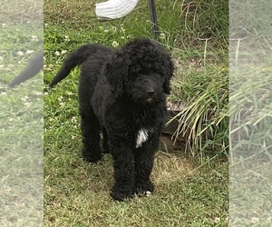 Goldendoodle-Poodle (Standard) Mix Puppy for sale in OXFORD, AR, USA