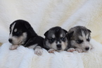 Siberian Husky Puppy For Sale in BATTLE GROUND, Washington,