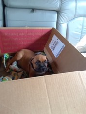 Boxer Puppy For Sale in UNIVERSITY PARK, IL, USA