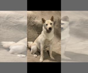 Shiba Inu Dog for Adoption in PLAINWELL, Michigan USA