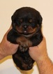 Rottweiler Puppy For Sale in SUN VALLEY, CA