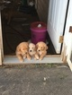 Golden Pyrenees Puppy For Sale in BUTLER, OH, USA