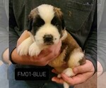 Puppy 1 Saint Bernard