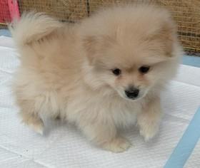 Pomeranian Puppy for sale in WARREN, MA, USA