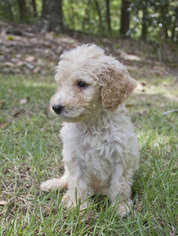 Poodle (Standard) Puppy for sale in WINSTON, GA, USA