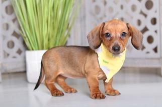 View Ad: Dachshund Puppy for Sale, Ohio, MOUNT VERNON, USA