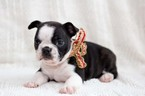 Faux Frenchbo Bulldog Puppy For Sale in NEW PITTSBURGH, OH, USA