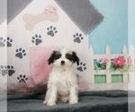 Puppy 4 Morkie