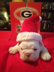 Original English Bulldogge Puppy For Sale in MOUNT AIRY, NC