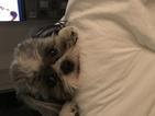 Shih Tzu Puppy For Sale in ATLANTA, GA