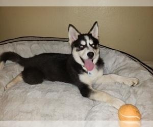 Pomsky Puppy for sale in DALLAS, TX, USA