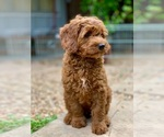 Small #10 Australian Labradoodle