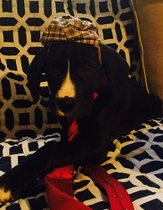 Great Dane Puppy For Sale in MOORESVILLE, IN
