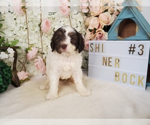 Labradoodle Puppy for Sale in COLLEGE STA, Texas USA