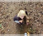 Small #7 Goldendoodle-Labrador Retriever Mix