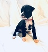 Boxer Puppy For Sale in IMPERIAL BEACH, CA, USA