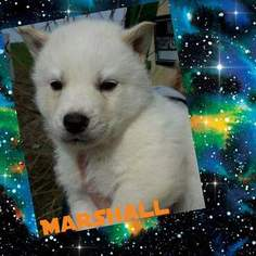 Siberian Husky Puppy For Sale in OWENSVILLE, IN