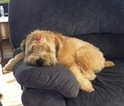 Soft Coated Wheaten Terrier Puppy For Sale in ETTERS, PA