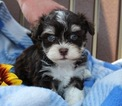 Havanese Puppy For Sale in HOUSTON, TX, USA