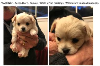 Chihuahua Puppy for sale in LOS ALTOS, CA, USA
