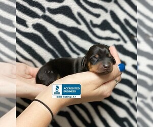 Dachshund Dog for Adoption in WINNSBORO, Louisiana USA