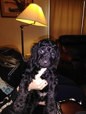 View Ad Bernedoodle Litter Of Puppies For Sale Near Texas