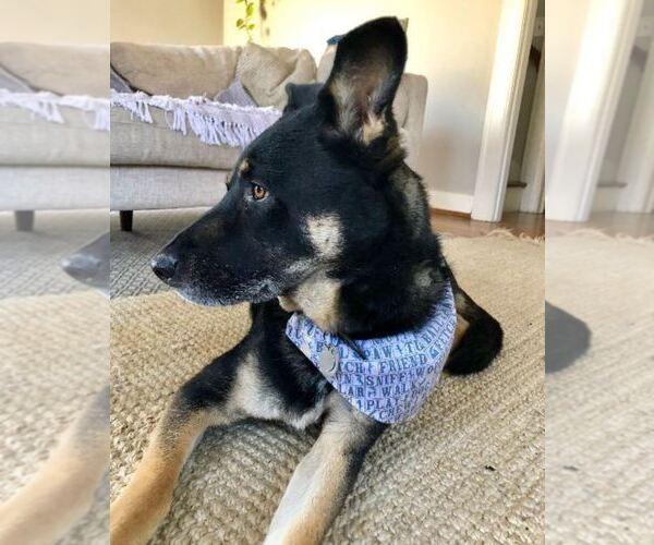 black shepherd /black lab mix Mix dog
