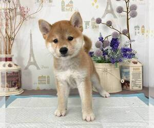 Shiba Inu Puppy for sale in SALT LAKE CITY, UT, USA