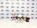 Shih Tzu Puppy For Sale in TEMPLE CITY, California,
