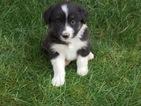 Miniature Australian Shepherd Puppy For Sale in BIRCHWOOD, TN