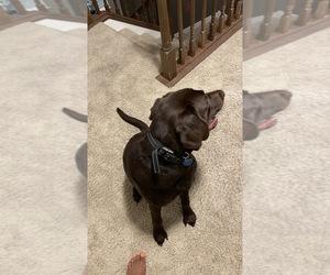 Labrador Retriever Puppy for sale in BURNS TOWNSHIP, MN, USA