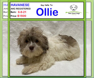 Havanese Puppy for Sale in ALBION, Indiana USA