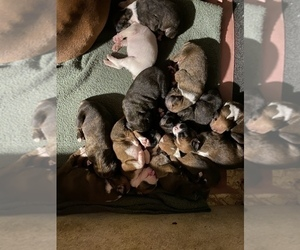 Boxer Puppy for Sale in OAK LAWN, Illinois USA