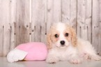 Cavachon Puppy For Sale in MOUNT VERNON, Ohio,