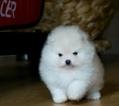 Pomeranian Puppy For Sale in PHILADELPHIA, PA, USA