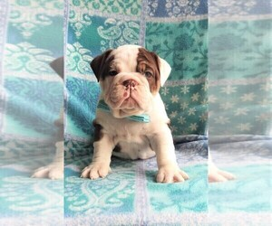 Bulldog Puppy for sale in LANCASTER, PA, USA