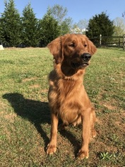 Golden Retriever Puppy For Sale in WINSTON SALEM, NC