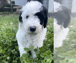 Goldendoodle Puppy for sale in LOTHIAN, MD, USA