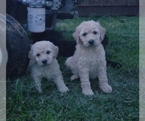 Goldendoodle-Poodle (Standard) Mix Puppy for sale in GALAX, VA, USA