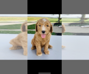 Goldendoodle Puppy for Sale in NICKELSVILLE, Virginia USA