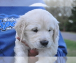 Puppy 3 English Cream Golden Retriever