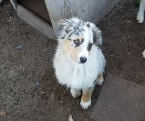 Australian Shepherd Puppy for Sale in GARDNER, Kansas USA