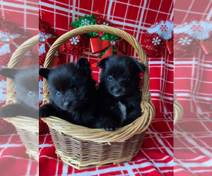 Pomeranian Puppy for sale in INDIANAPOLIS, IN, USA
