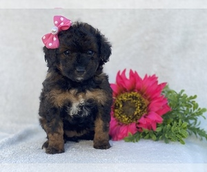 Goldendoodle-Poodle (Toy) Mix Puppy for sale in CEDAR LANE, PA, USA