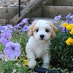 Cavachon Puppy For Sale in NAVARRE, OH, USA