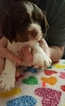 English Springer Spaniel Puppy For Sale in RINER, VA