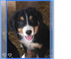 Bernese Mountain Dog Puppy for sale in SCOTTSDALE, AZ, USA